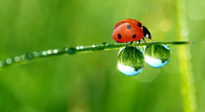 Dew and ladybird Stock Image