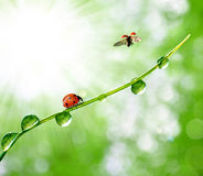 Dew and ladybird. Fresh morning dew and ladybird Royalty Free Stock Photo