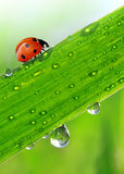 Dew and ladybird. Fresh morning dew and ladybird Royalty Free Stock Photography