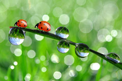 Dew and ladybird. Fresh morning dew and ladybird Stock Photos