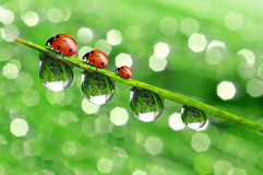 Dew and ladybird. Fresh morning dew and ladybird Royalty Free Stock Photos