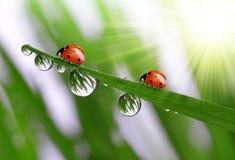 Dew and ladybird Stock Photos