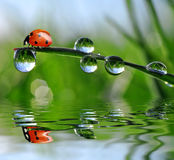 Dew and ladybird Stock Photography