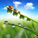 Dew and ladybirds Royalty Free Stock Image