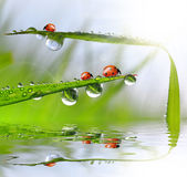 Dew and ladybirds Stock Photos