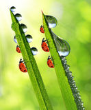 Dew and ladybirds Royalty Free Stock Photo