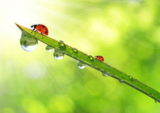 Dew and ladybirds Stock Photography