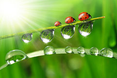 dew and ladybirds Stock Photos