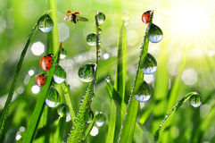Dew and ladybirds Royalty Free Stock Images