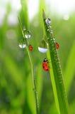 Dew and ladybirds Stock Photo