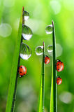 Dew and ladybirds Stock Images