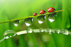 dew and ladybirds Royalty Free Stock Photos