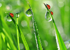 Dew and ladybirds Stock Image