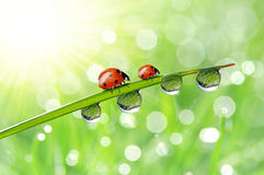 Dew and ladybirds Stock Photo