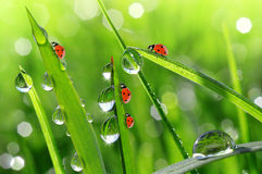 Dew and ladybirds Royalty Free Stock Photography