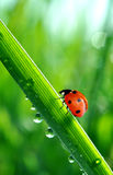 Dew and ladybug Stock Image