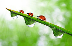 Dew and ladybug. Fresh morning dew on a spring grass and little ladybug Royalty Free Stock Photography