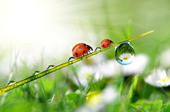Dew and ladybugs Stock Images