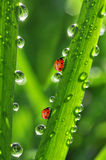 Dew and ladybugs Royalty Free Stock Images