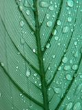 Dew on a leaf. Dew on a pale green leaf Royalty Free Stock Photos