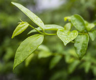 Dew on leaf. Dew on green leaf after raining Stock Photos