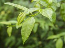 Dew on leaf. Dew on green leaf after raining Stock Images