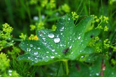 Dew on leaf. Summer morning dew on the green leaves in the suburbs Stock Images