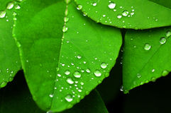 Dew on leaves Royalty Free Stock Image
