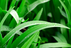 Dew on leaves Stock Images