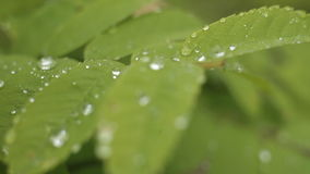 Dew on leaves stock video footage