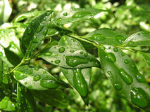 Dew on the leaves. Fresh dew drops on the green leaves in sunlight stock images