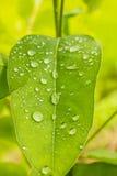 Dew leaves. Dew on green leave , eucalyptus leave Stock Image