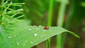 Dew on leaves and ladybird stock images