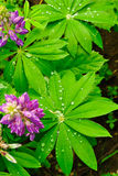 Dew on the leaves of lupine Stock Images