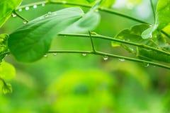 Background Dew on leaves in rainy season. Dew on leaves in rainy season stock image