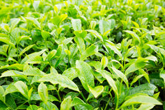 Dew on the leaves of the tea bushes, early morning Royalty Free Stock Photo
