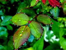 Dew on leaves of a wild rose shrub royalty free stock image