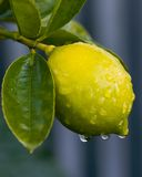 Dew on lemon 01 Royalty Free Stock Image