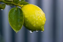Dew on lemon 02 Royalty Free Stock Photos