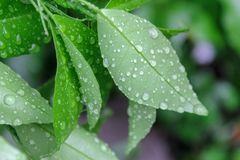 Dew on lime leaves royalty free stock photos