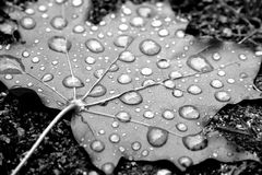 Dew on maple leaf. Black and white macro view of dew on surface of maple leaf Royalty Free Stock Photo