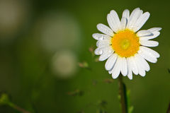 Dew on marguerite. Marguerite in front of a green background is cover by dew at early morning Stock Image