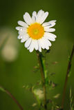 Dew on marguerite. Marguerite in front of a green background is cover by dew at early morning Stock Photography