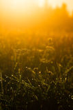 Dew meadow morning Royalty Free Stock Photo