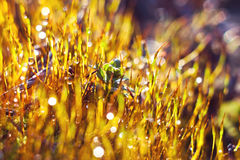 Dew on  moss Royalty Free Stock Images