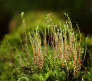 Dew on moss seta Royalty Free Stock Photos