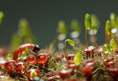 Dew on mossy forest floor. Macro of dew drops on forest floor with red blossom Haircap moss, green capsules of Pohlia nutans moss, and red seven-spotted ladybird Stock Photo