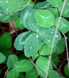 Dew on Mountain Clover Royalty Free Stock Image