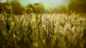 Dew nature morning. Grass sunrise picture , green, yellow. Dew nature morning. Grass sunrise picture Royalty Free Stock Photos
