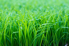 Dew On Top Of Green Grass Stock Photography